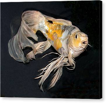 Butterfly Koi C Canvas Print by Janna Morrison