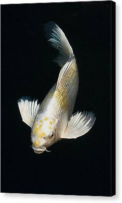 Butterfly Koi Canvas Print by Don Mann