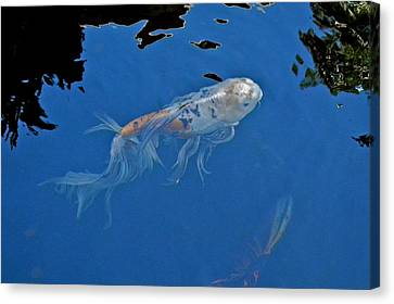 Butterfly Koi In Blue Sky Reflection Canvas Print by Kirsten Giving
