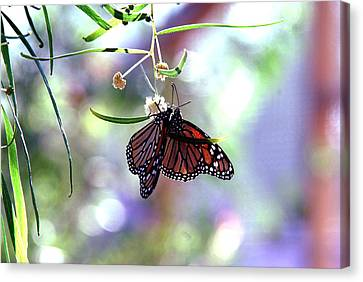 Canvas Print featuring the photograph Butterfly Meet-up by Tam Ryan