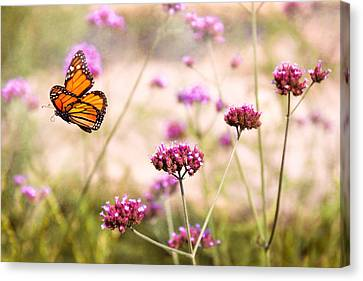 Butterfly - Monarach - The Sweet Life Canvas Print by Mike Savad