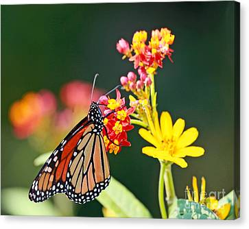 Canvas Print featuring the photograph Butterfly Monarch On Lantana Flower by Luana K Perez