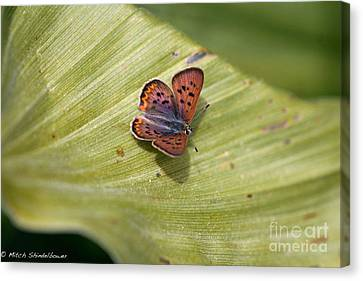 Canvas Print featuring the photograph Butterfly On Cornflower Leaf by Mitch Shindelbower
