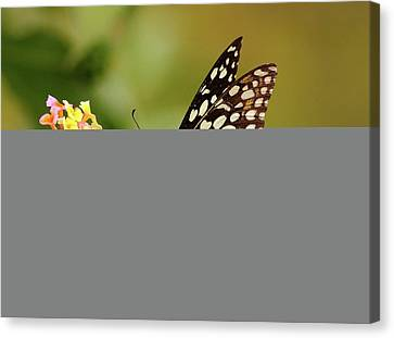 Butterfly On Flower Canvas Print by Mcb Bank Bhalwal