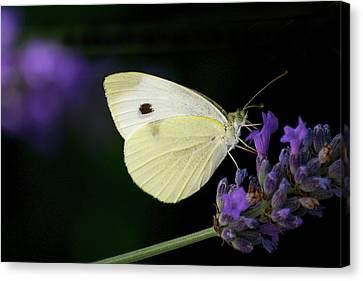 Butterfly On Lavender Flower Canvas Print by Annfrau