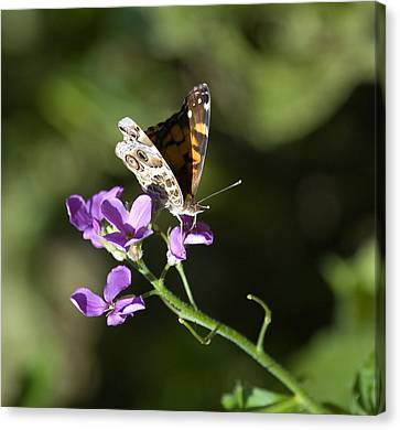 Butterfly On Phlox Bloom Canvas Print by Sarah McKoy