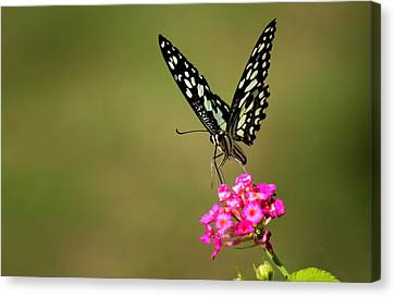 Butterfly On Pink Flower  Canvas Print by Ramabhadran Thirupattur
