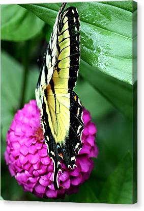 Butterfly On Pink Canvas Print by Susan Leggett
