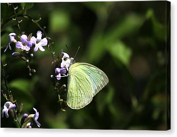 Butterfly On Purple Flower Canvas Print by Ramabhadran Thirupattur