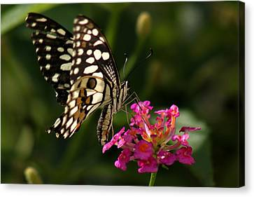 Butterfly Canvas Print by Ramabhadran Thirupattur