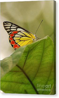 Canvas Print featuring the photograph Butterfly Resting by Fotosas Photography