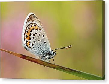 Butterfly Canvas Print by Stefady