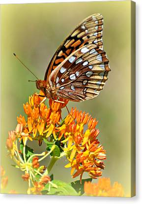 Butterfly Weed 1 Canvas Print by Marty Koch