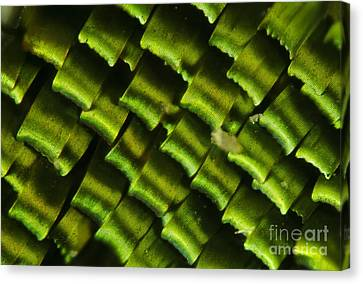 Butterfly Wing Scales Canvas Print by Raul Gonzalez Perez