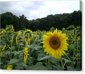 Buttonwoods Sunflowers Canvas Print by Jason Sawicki