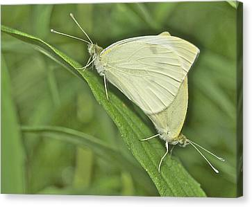 Cabbage White Butterflies 5267 Canvas Print by Michael Peychich