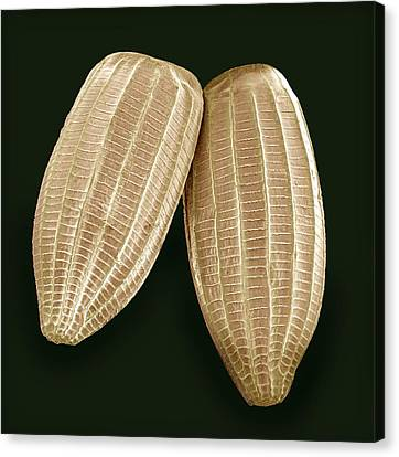 Cabbage White Butterfly Eggs, Sem Canvas Print
