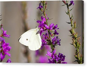 Cabbage White Butterfly Canvas Print by Michel DesRoches