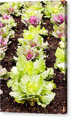 Arable Canvas Print - Cabbages by Tom Gowanlock