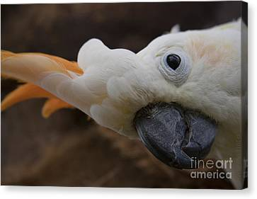 Cacatua Sulphurea Citrinocristata - Citron Crested Cockatoo Canvas Print