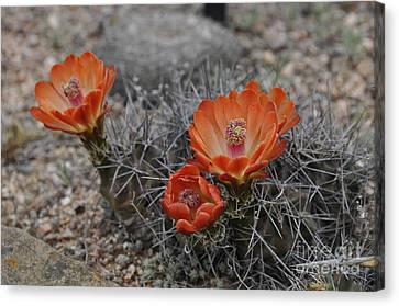 Cactus Beauty Canvas Print by Cheryl McClure
