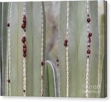 Arizonia Canvas Print - Cactus Buds by Rebecca Margraf