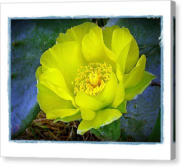 Cactus Flower Canvas Print by Judi Bagwell