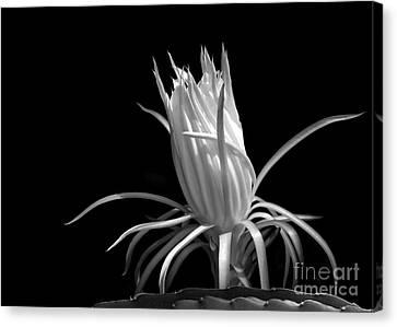 Florida Flowers Canvas Print - Cactus Flower by Sabrina L Ryan