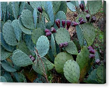 Canvas Print featuring the photograph Cactus Plants by Maria Urso