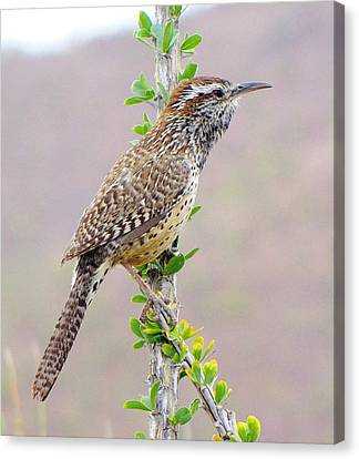 Cactus Wren Canvas Print by FeVa  Fotos