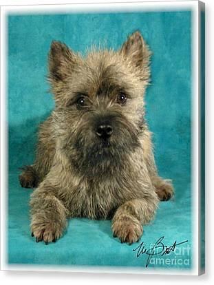 Cairn Terrier Pup Canvas Print by Maxine Bochnia