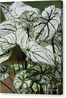 Caladium Named White Christmas Canvas Print by J McCombie