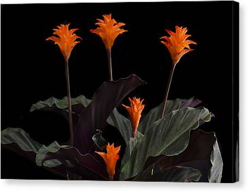 Calathea Crocate Canvas Print by Terence Davis