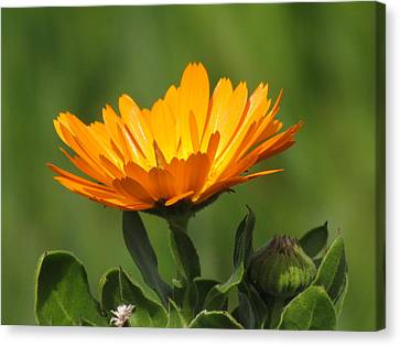 Calendula Bloom Canvas Print
