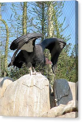 Canvas Print featuring the photograph California Condor by Carla Parris