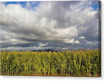 California Cornfield Canvas Print