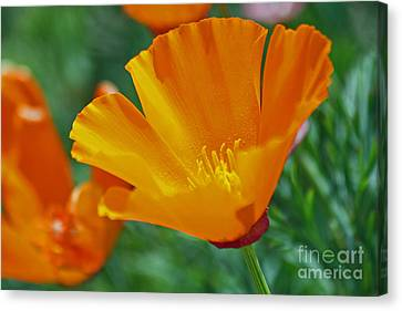 California Poppy Canvas Print by Morgan Wright
