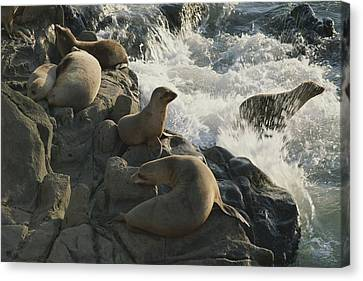 California Sea Lions Bask On San Miguel Canvas Print by James A. Sugar