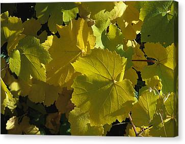 California Wild Grape Leaves Vitis Canvas Print by Marc Moritsch