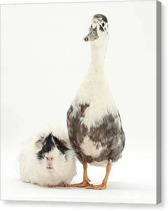 Call Duck And Guinea Pig Canvas Print by Mark Taylor