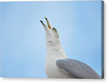 Flying Seagull Canvas Print - Call Of The Wild by Bill Cannon