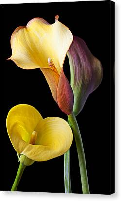 Calla Lilies Still Life Canvas Print by Garry Gay