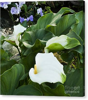 Callas At River Canvas Print by Heiko Koehrer-Wagner