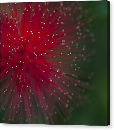 Calliandra II Canvas Print