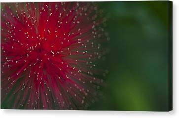 Calliandra Canvas Print