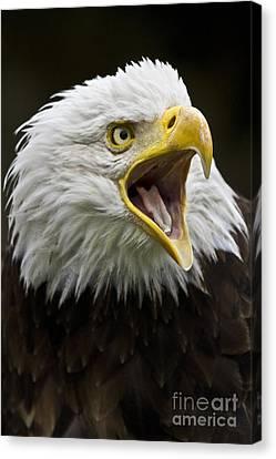 Calling Bald Eagle - 4 Canvas Print