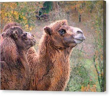 Calm Camels Canvas Print by Wendy McKennon