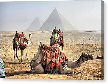 Camel And Pyramids, Caro, Egypt. Canvas Print by Oudi