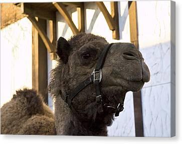 Camel In Frankenmuth Michigan Canvas Print