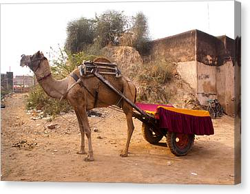 Camel Yoked To A Decorated Cart Meant For Carrying Passengers In India Canvas Print by Ashish Agarwal